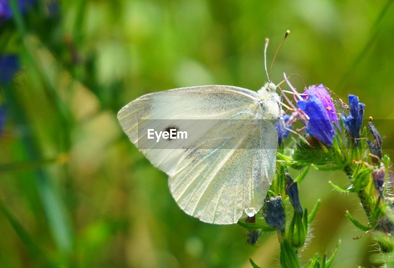 insect, animals in the wild, animal themes, one animal, nature, flower, fragility, butterfly - insect, growth, plant, beauty in nature, focus on foreground, animal wildlife, close-up, no people, butterfly, day, outdoors, petal, freshness, flower head, pollination, spread wings