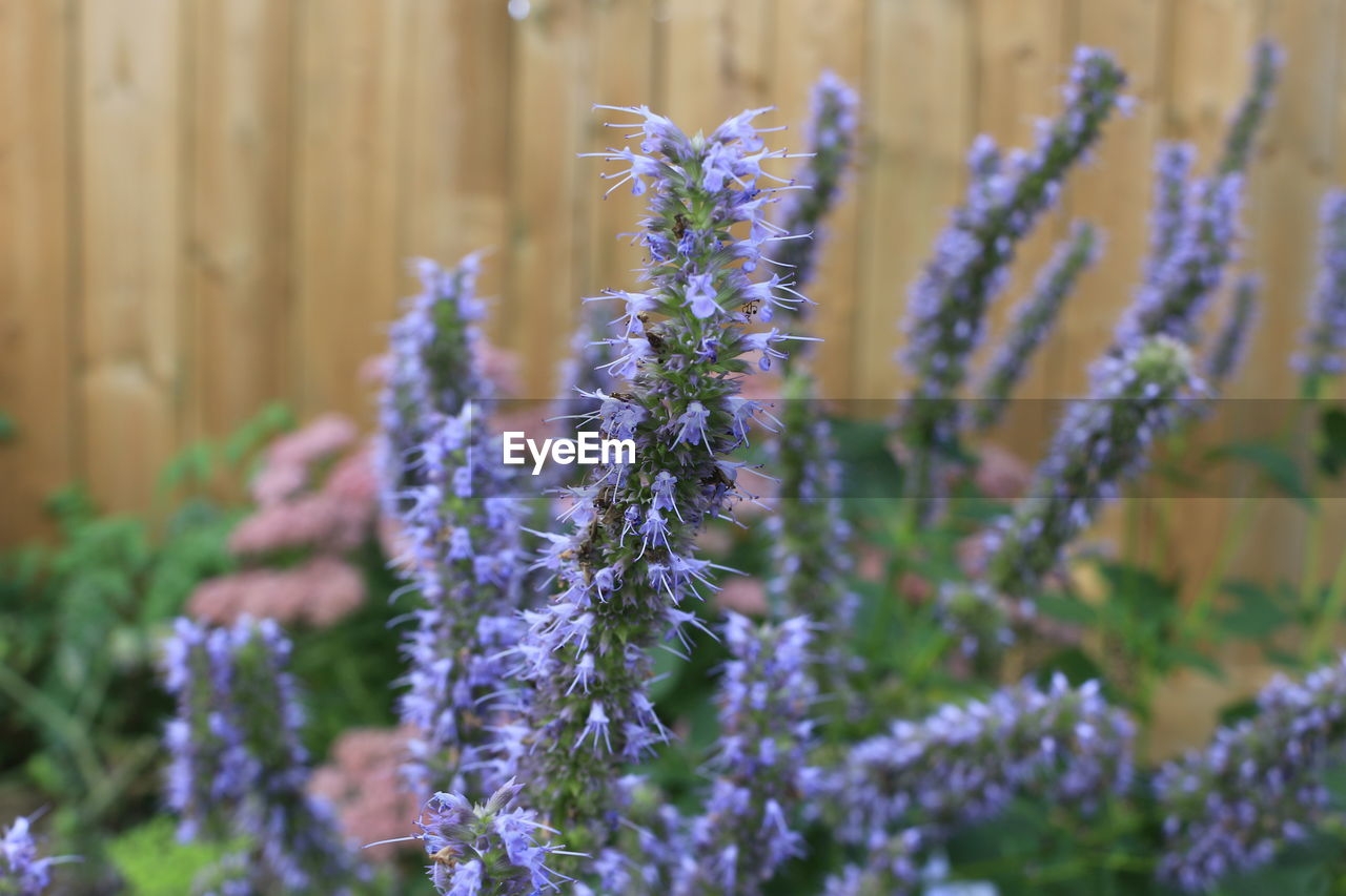 flower, flowering plant, plant, vulnerability, beauty in nature, fragility, purple, growth, freshness, close-up, selective focus, lavender, focus on foreground, nature, day, petal, inflorescence, flower head, no people, plant stem