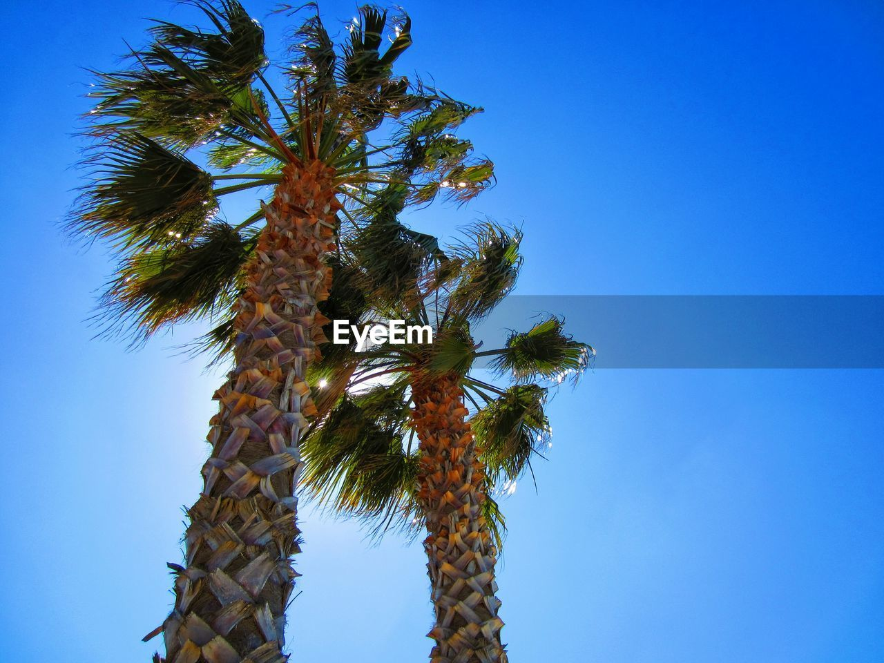 low angle view, clear sky, tree, growth, blue, nature, day, no people, palm tree, beauty in nature, outdoors, sky, sunlight, catkin, freshness