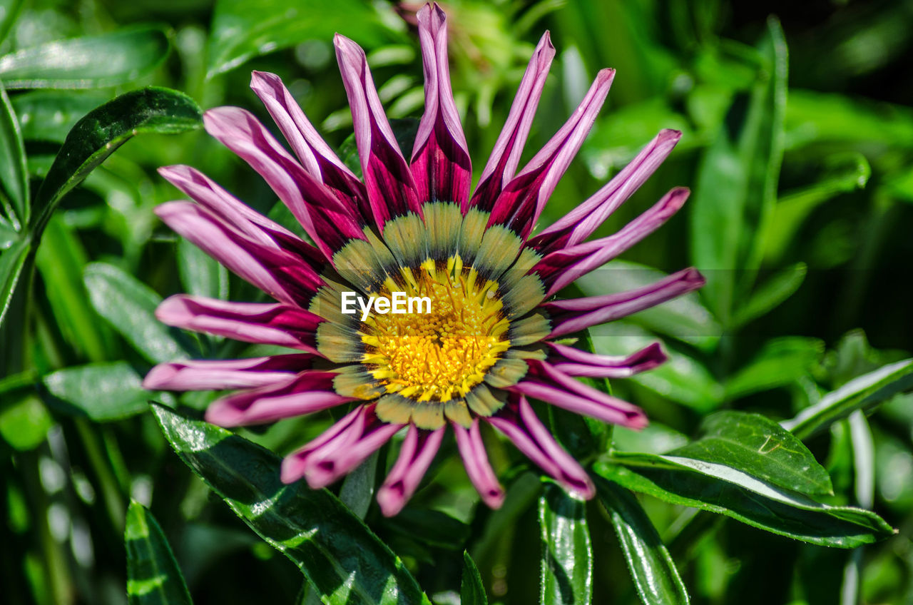 flowering plant, flower, plant, vulnerability, fragility, beauty in nature, growth, flower head, freshness, petal, inflorescence, close-up, pink color, pollen, nature, yellow, green color, focus on foreground, day, no people, gazania, outdoors, springtime