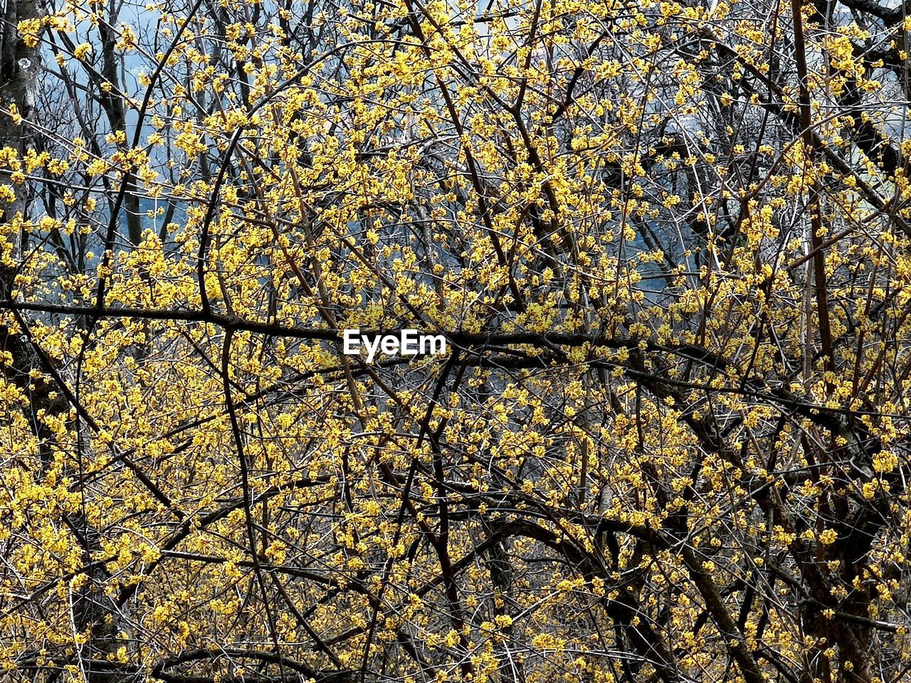 tree, plant, beauty in nature, growth, branch, nature, no people, low angle view, full frame, day, autumn, springtime, yellow, flower, outdoors, flowering plant, backgrounds, tranquility, blossom, change, cherry blossom, tree canopy