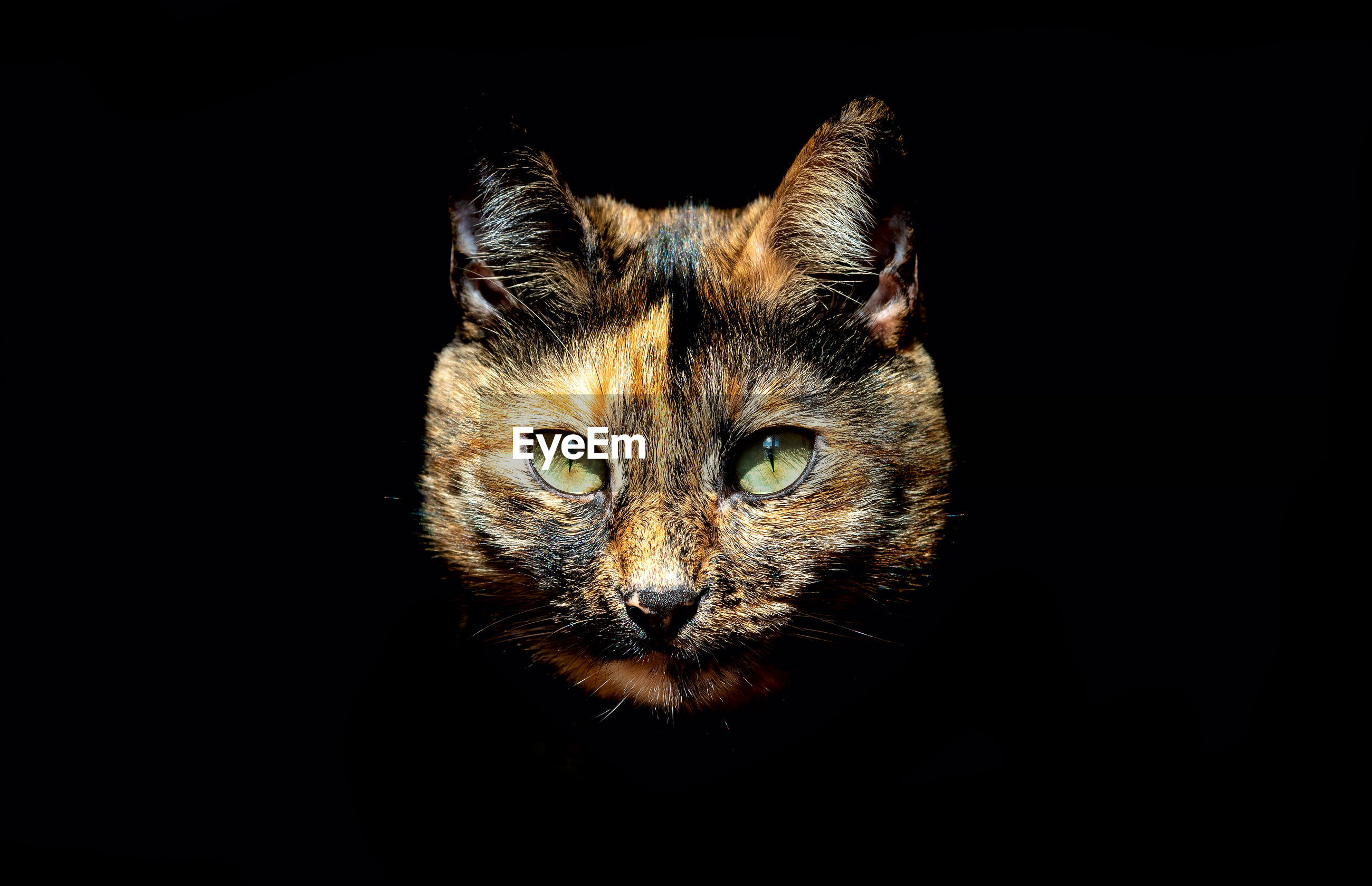 CLOSE-UP PORTRAIT OF CAT WITH BLACK BACKGROUND