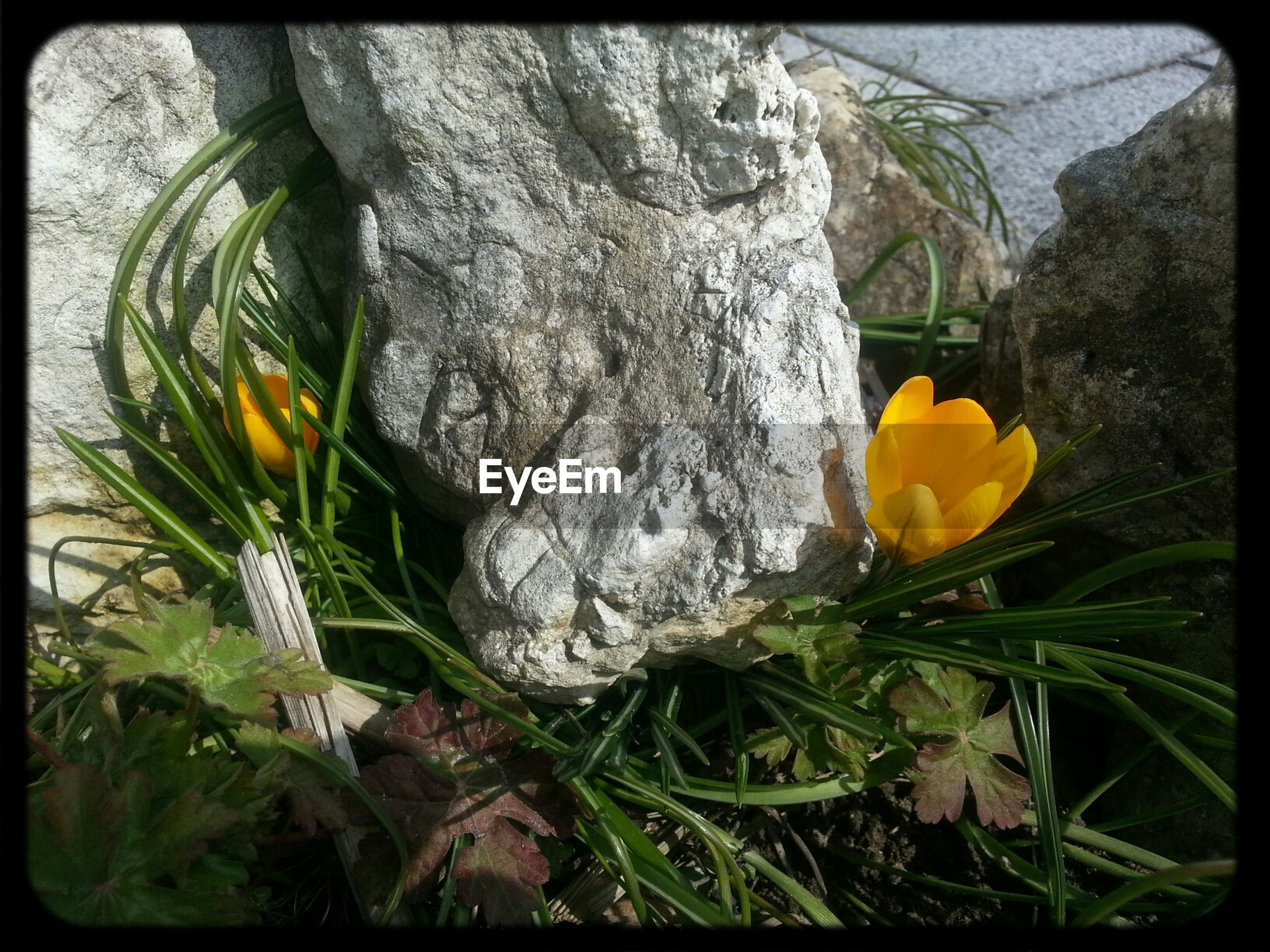 transfer print, flower, fragility, growth, auto post production filter, freshness, plant, close-up, beauty in nature, nature, yellow, petal, flower head, blooming, focus on foreground, day, outdoors, no people, leaf, stem