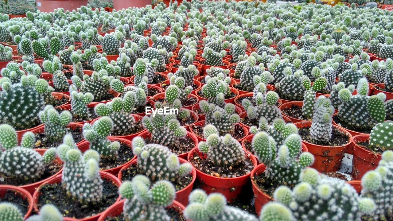 growth, plant, succulent plant, cactus, day, green color, no people, nature, beauty in nature, full frame, abundance, in a row, fruit, red, backgrounds, selective focus, outdoors, field, healthy eating, high angle view, plant nursery