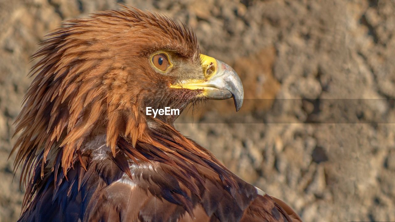 Close-Up Of Golden Eagle Against Rock
