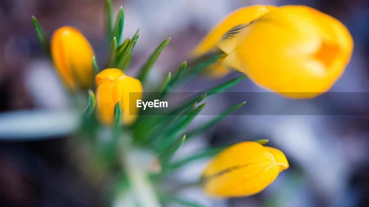 flower, yellow, growth, petal, beauty in nature, nature, freshness, fragility, plant, close-up, blooming, flower head, outdoors, no people, day, crocus