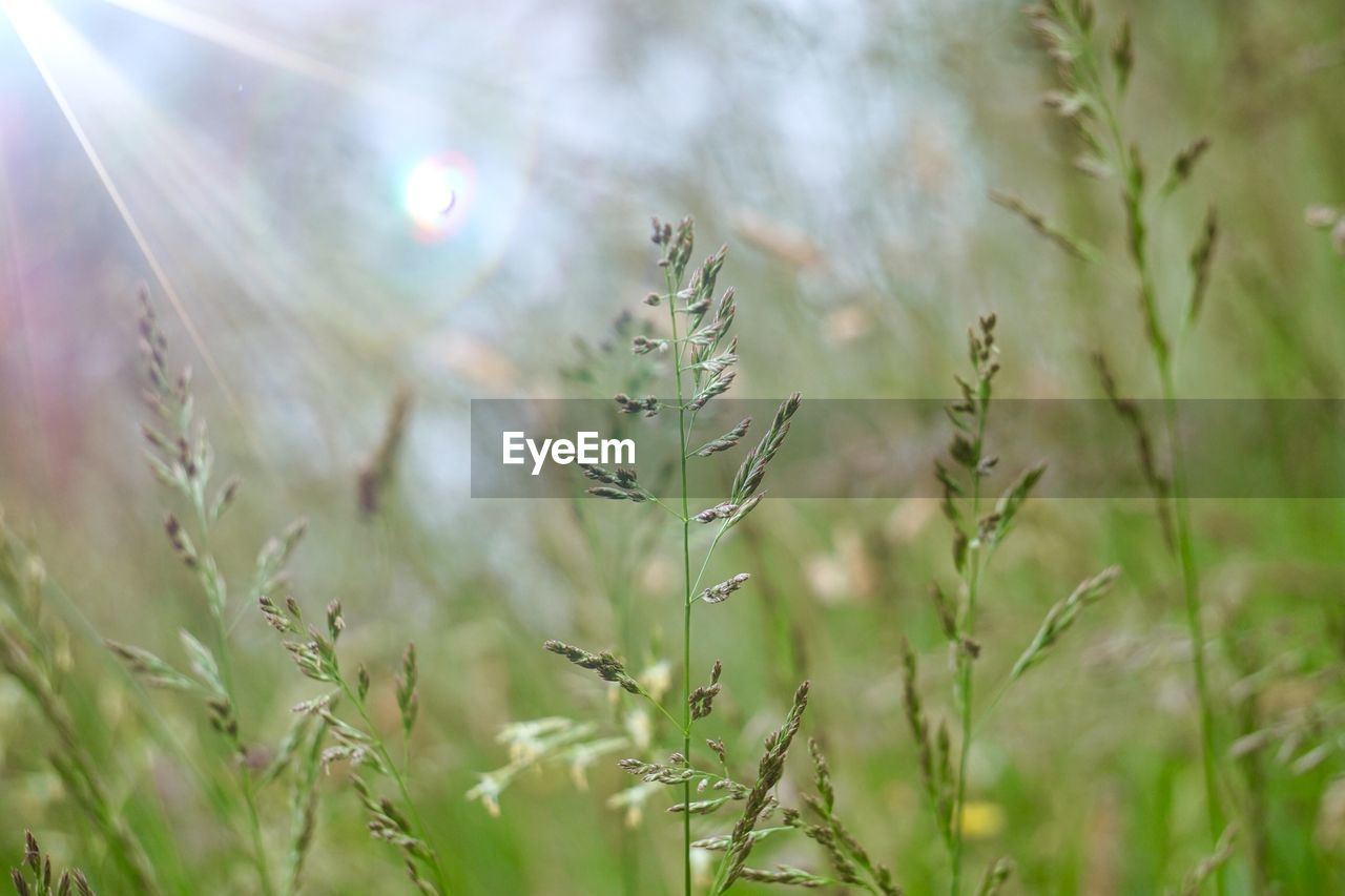 plant, growth, nature, selective focus, beauty in nature, day, no people, close-up, tranquility, land, green color, field, outdoors, focus on foreground, sunlight, grass, freshness, lens flare, fragility, agriculture, timothy grass