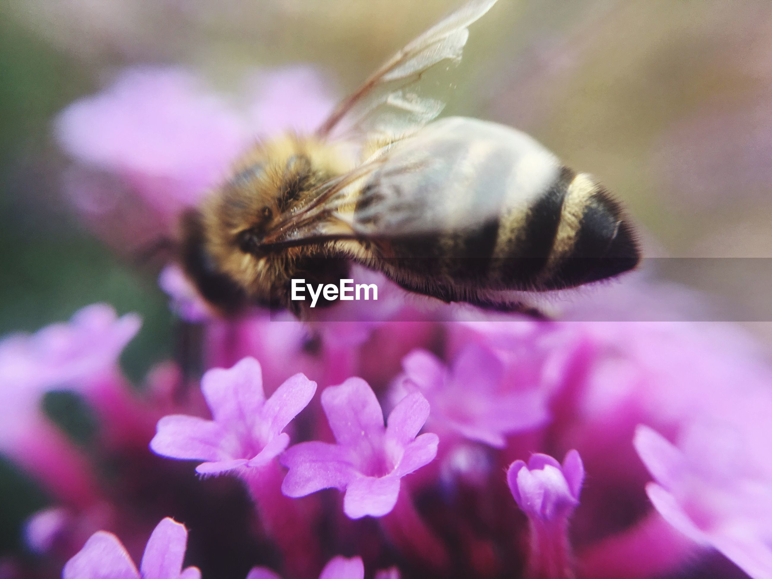 flower, nature, fragility, insect, no people, growth, beauty in nature, purple, petal, one animal, animals in the wild, close-up, plant, animal themes, pink color, day, outdoors, freshness, bee, flower head, pollination, bumblebee