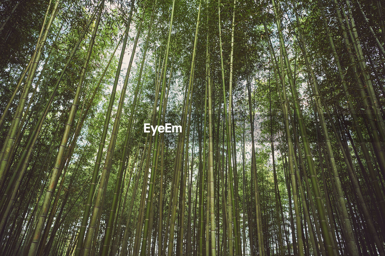 tree, plant, forest, low angle view, tranquility, beauty in nature, bamboo - plant, land, bamboo, bamboo grove, woodland, nature, no people, scenics - nature, green color, tall - high, growth, tranquil scene, day, non-urban scene, outdoors, tree canopy, pine woodland
