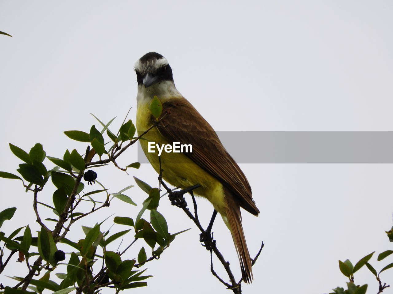 one animal, animals in the wild, perching, animal themes, bird, animal wildlife, leaf, low angle view, clear sky, nature, no people, day, outdoors, branch, beauty in nature, tree, bluetit, great tit, close-up, sky