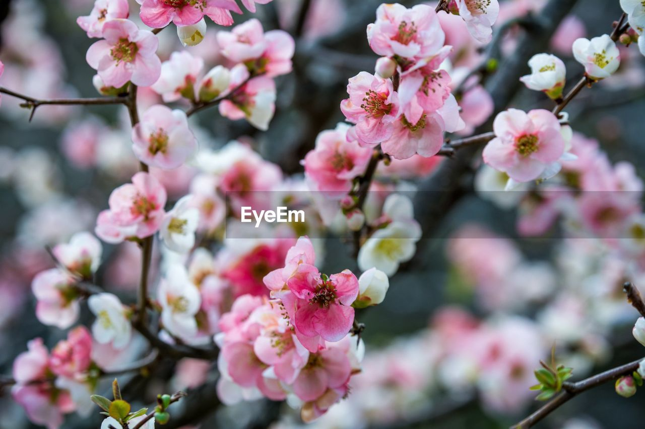 flower, fragility, growth, beauty in nature, blossom, freshness, pink color, nature, petal, springtime, branch, botany, no people, apple blossom, day, close-up, white color, tree, twig, outdoors, flower head, focus on foreground, blooming, plum blossom, plant