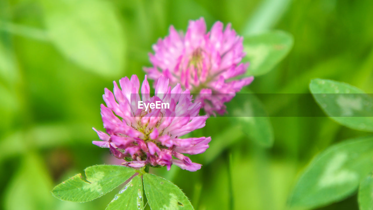 flower, nature, plant, beauty in nature, growth, fragility, leaf, freshness, no people, petal, green color, purple, blooming, day, close-up, flower head, outdoors