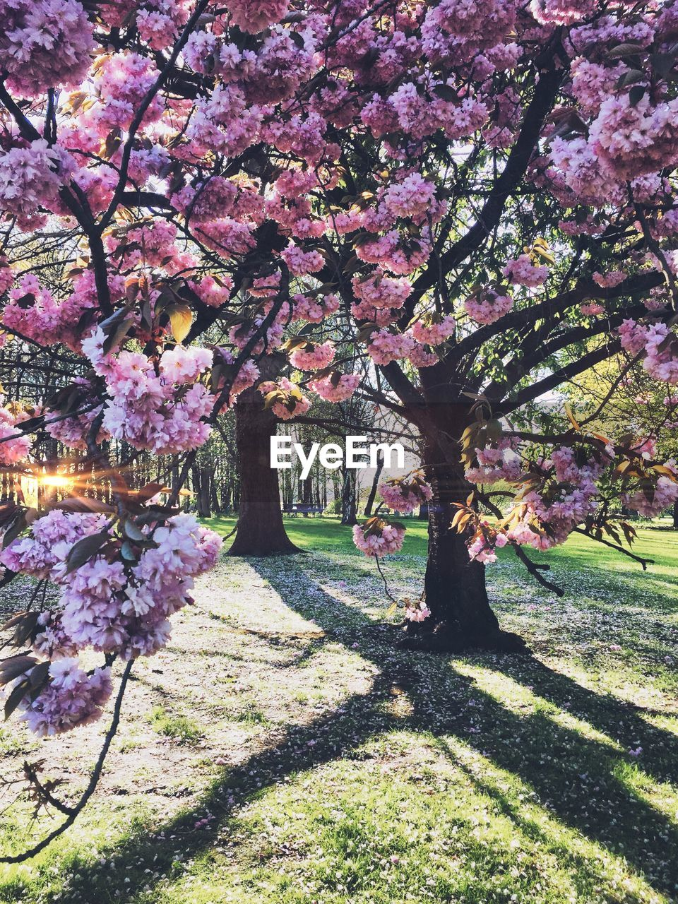 flower, tree, blossom, beauty in nature, growth, springtime, nature, pink color, fragility, cherry tree, branch, freshness, no people, botany, pink, scenics, spring, sunlight, shadow, day, tranquility, outdoors, grass
