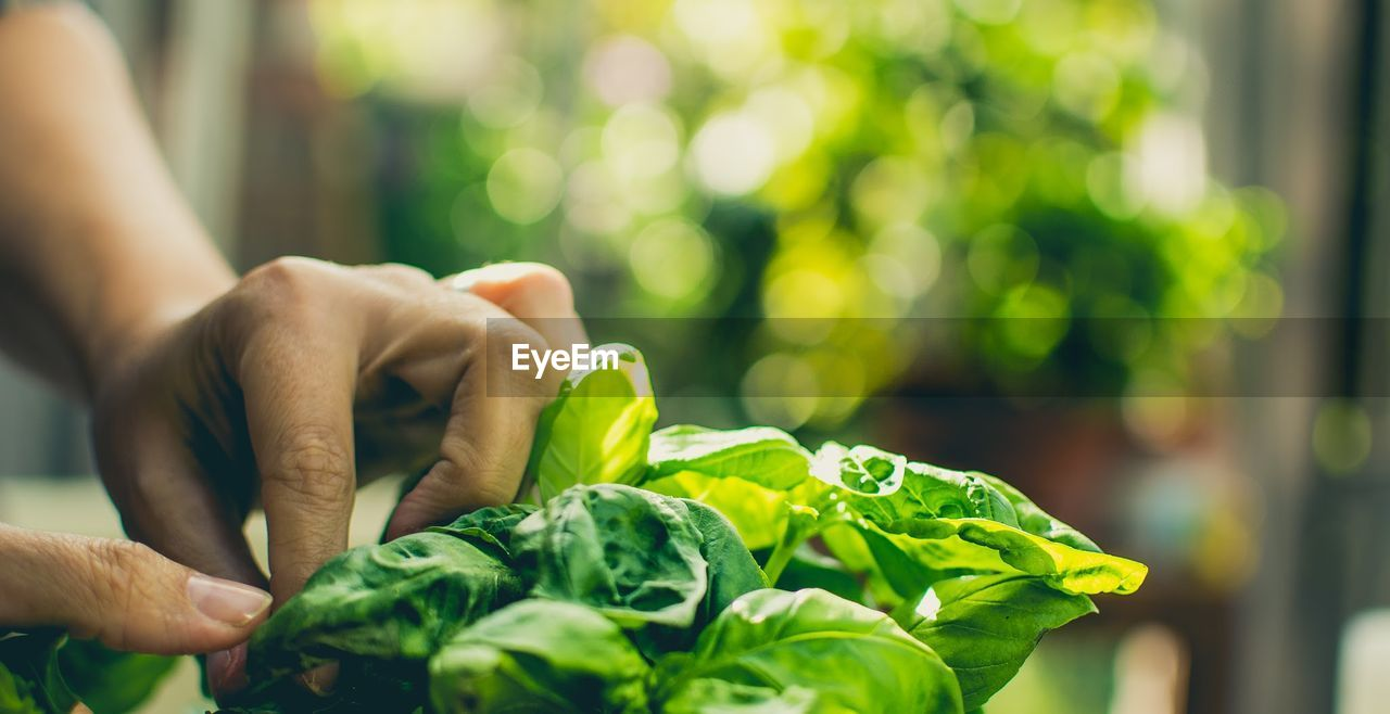 Cropped Image Of Woman Hand Cleaning Spinach In Kitchen