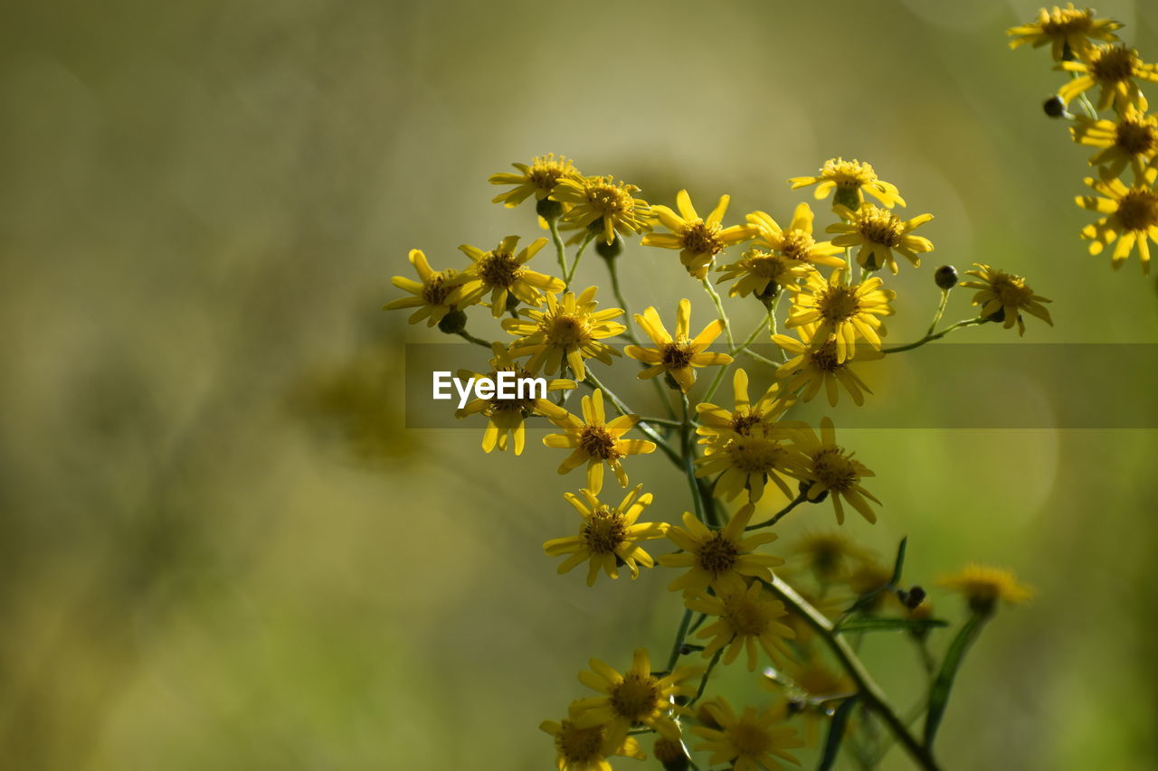 flower, plant, flowering plant, beauty in nature, growth, vulnerability, fragility, freshness, petal, yellow, close-up, nature, no people, flower head, day, inflorescence, outdoors, focus on foreground, selective focus, botany