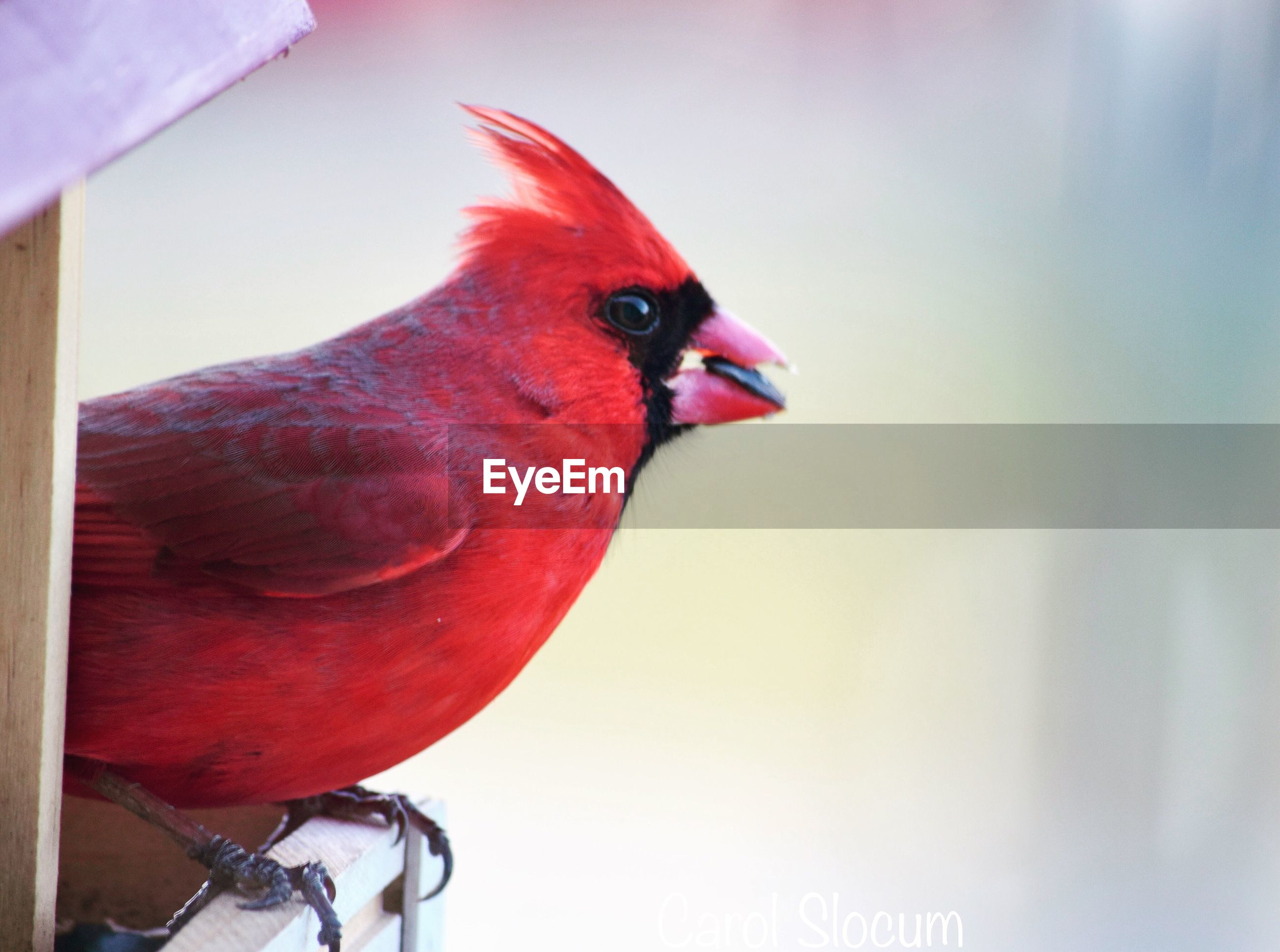 bird, animal themes, one animal, red, no people, animals in the wild, close-up, perching, animal wildlife, day, domestic animals, outdoors, nature