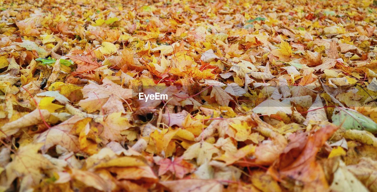 autumn, change, full frame, leaf, plant part, backgrounds, no people, close-up, leaves, abundance, selective focus, dry, day, nature, falling, yellow, high angle view, orange color, large group of objects, land, outdoors, maple leaf, natural condition, fall