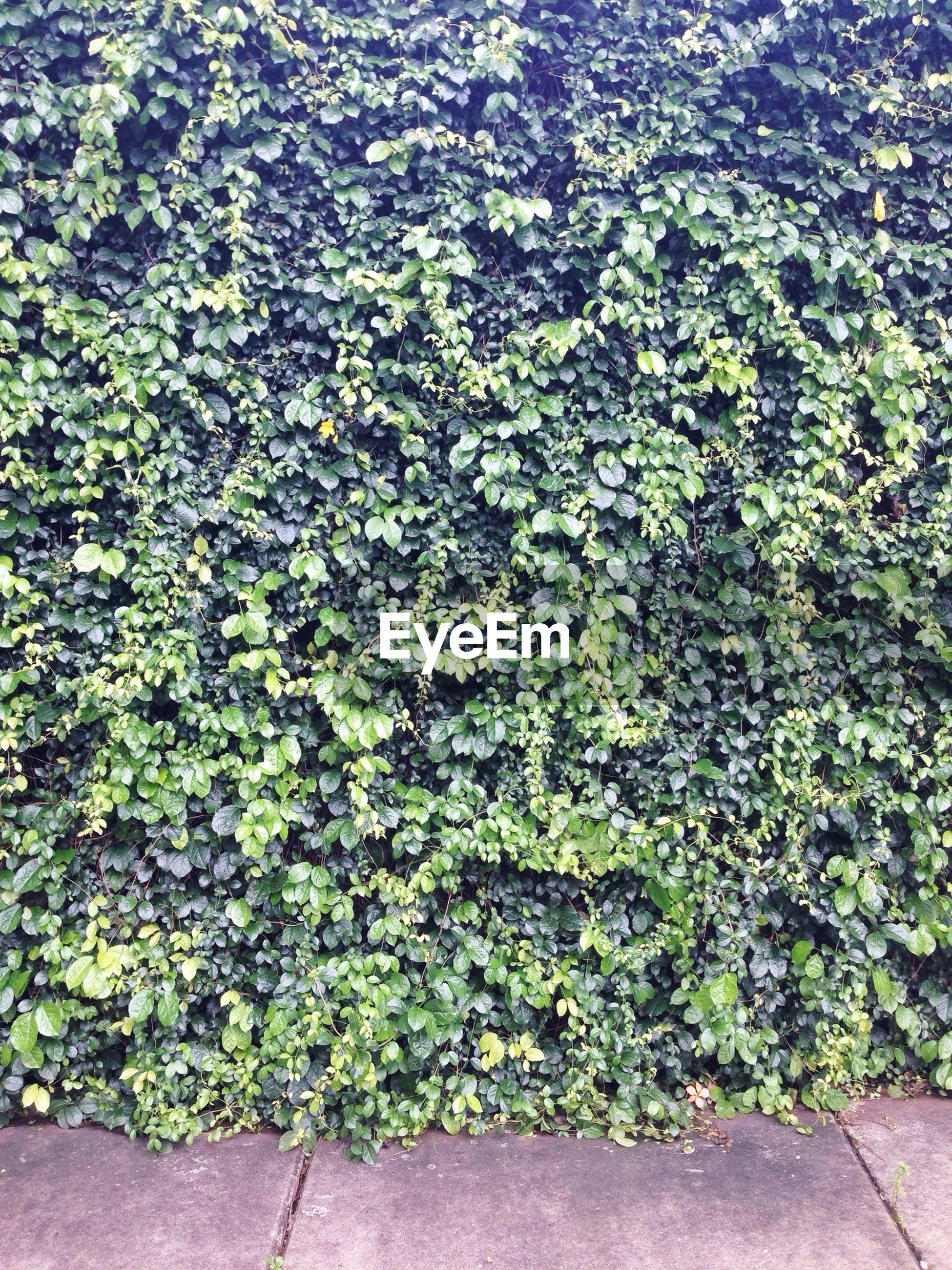 Close-up of lush ivy
