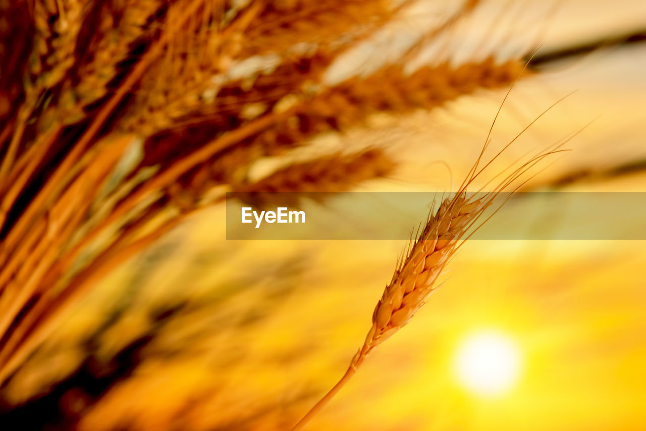 close-up, plant, growth, beauty in nature, crop, nature, agriculture, no people, selective focus, tranquility, cereal plant, focus on foreground, sunset, outdoors, orange color, sky, brown, day, wheat, sunlight, stalk