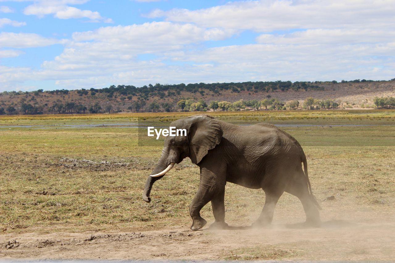SIDE VIEW OF ELEPHANT IN FIELD