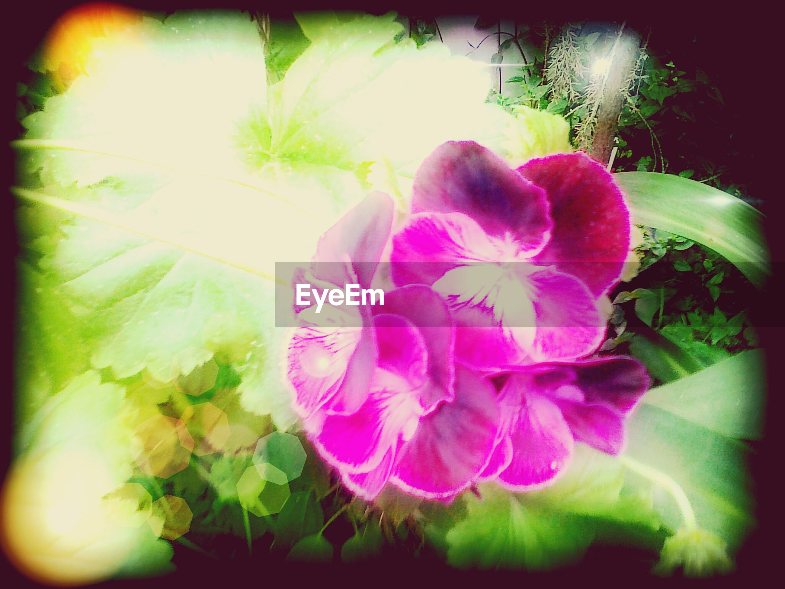 flower, petal, freshness, growth, fragility, flower head, beauty in nature, plant, nature, close-up, blooming, leaf, auto post production filter, transfer print, pink color, in bloom, sunlight, blossom, purple, no people