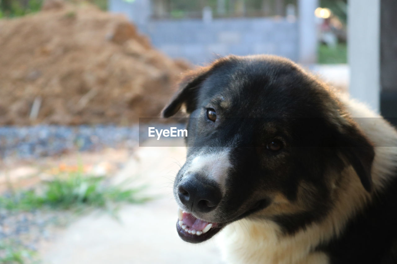 one animal, dog, canine, domestic, pets, mammal, domestic animals, animal themes, animal, vertebrate, focus on foreground, animal body part, looking, portrait, close-up, no people, animal head, looking away, day, mouth open, snout