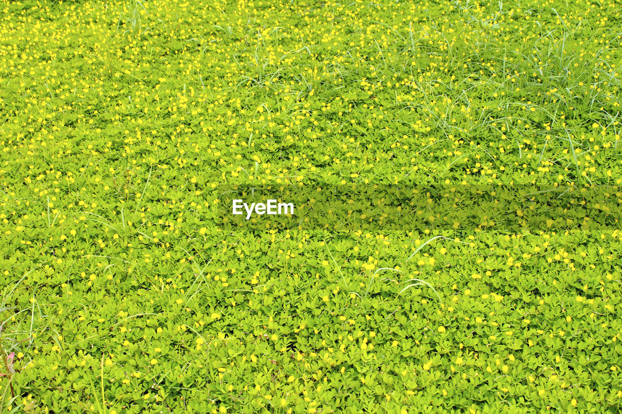 green color, full frame, backgrounds, plant, beauty in nature, grass, nature, growth, field, no people, tranquility, day, outdoors, high angle view, land, foliage, freshness, lush foliage, scenics - nature, flower, turf