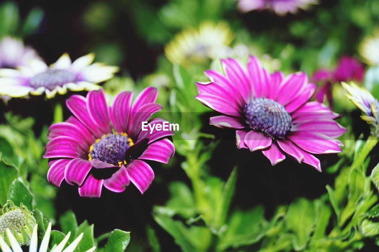 flowering plant, flower, fragility, vulnerability, plant, growth, petal, flower head, freshness, inflorescence, beauty in nature, close-up, pink color, focus on foreground, nature, no people, day, purple, outdoors, plant part