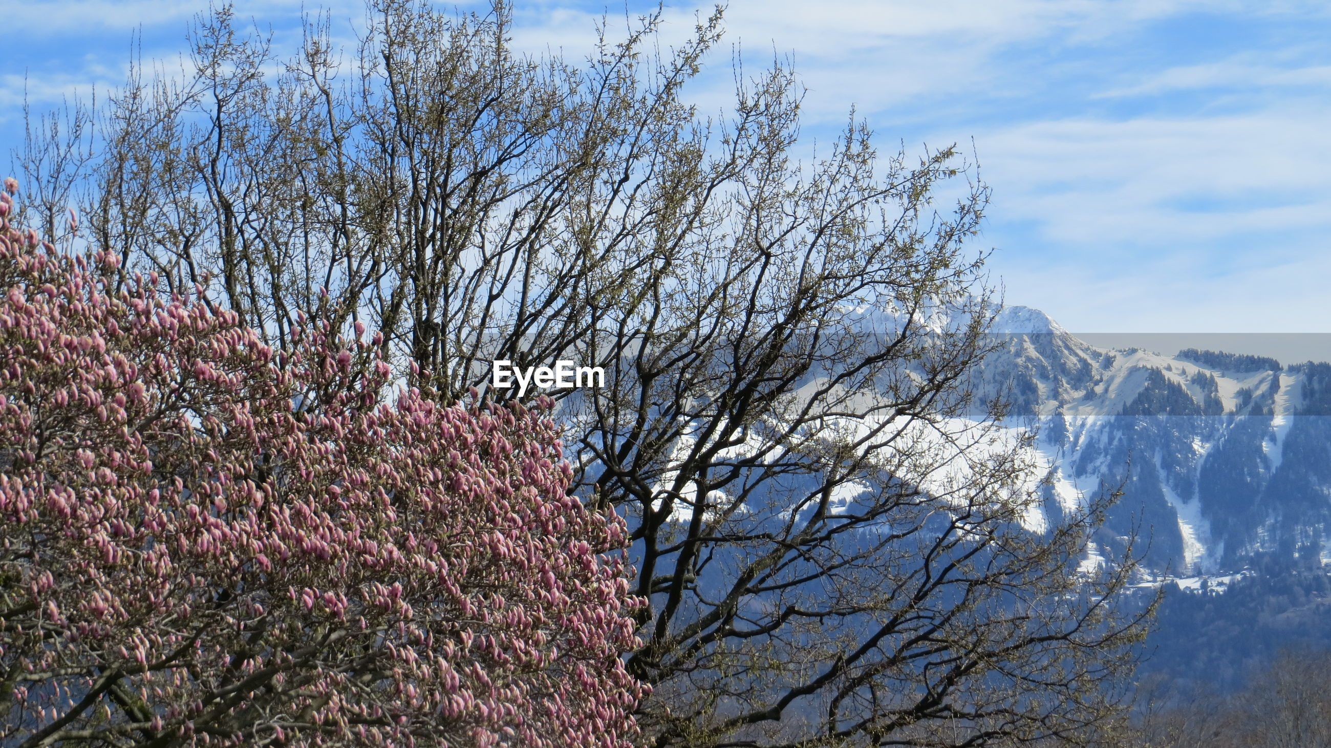 LOW ANGLE VIEW OF FLOWERING TREE AGAINST SKY DURING WINTER