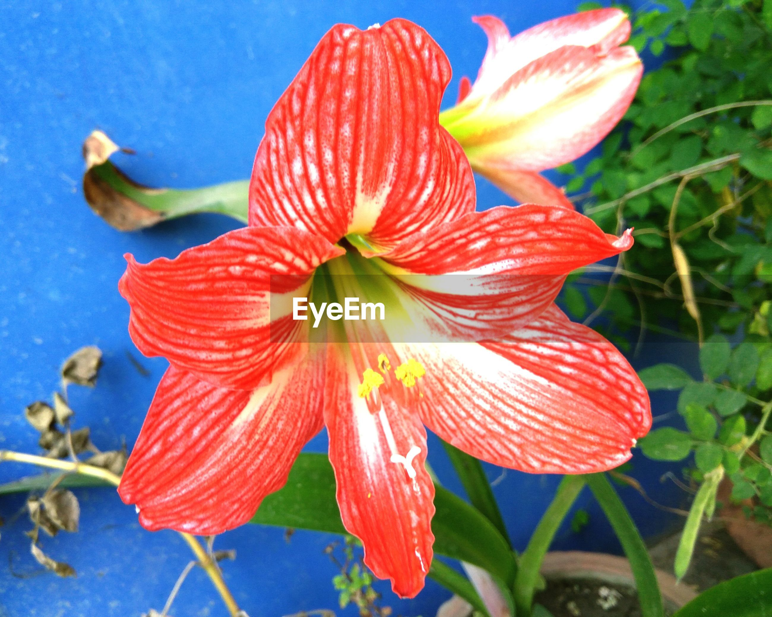 CLOSE-UP OF DAY LILY BLOOMING IN WATER