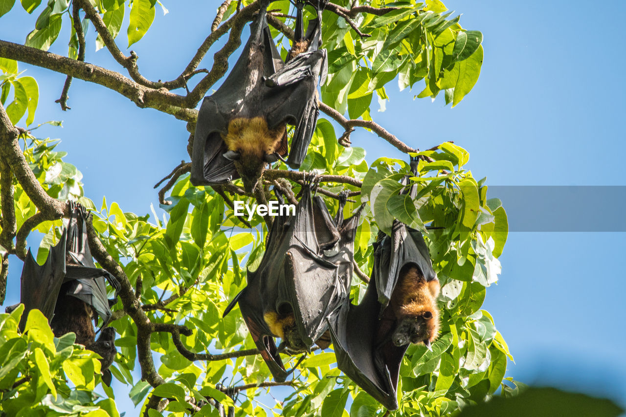 Low angle view of bats hanging on tree against sky