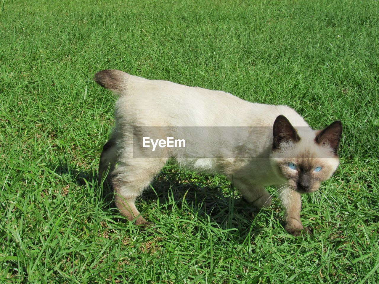 domestic, pets, mammal, domestic animals, animal, animal themes, one animal, grass, plant, vertebrate, cat, green color, domestic cat, feline, field, nature, land, full length, no people, high angle view, whisker