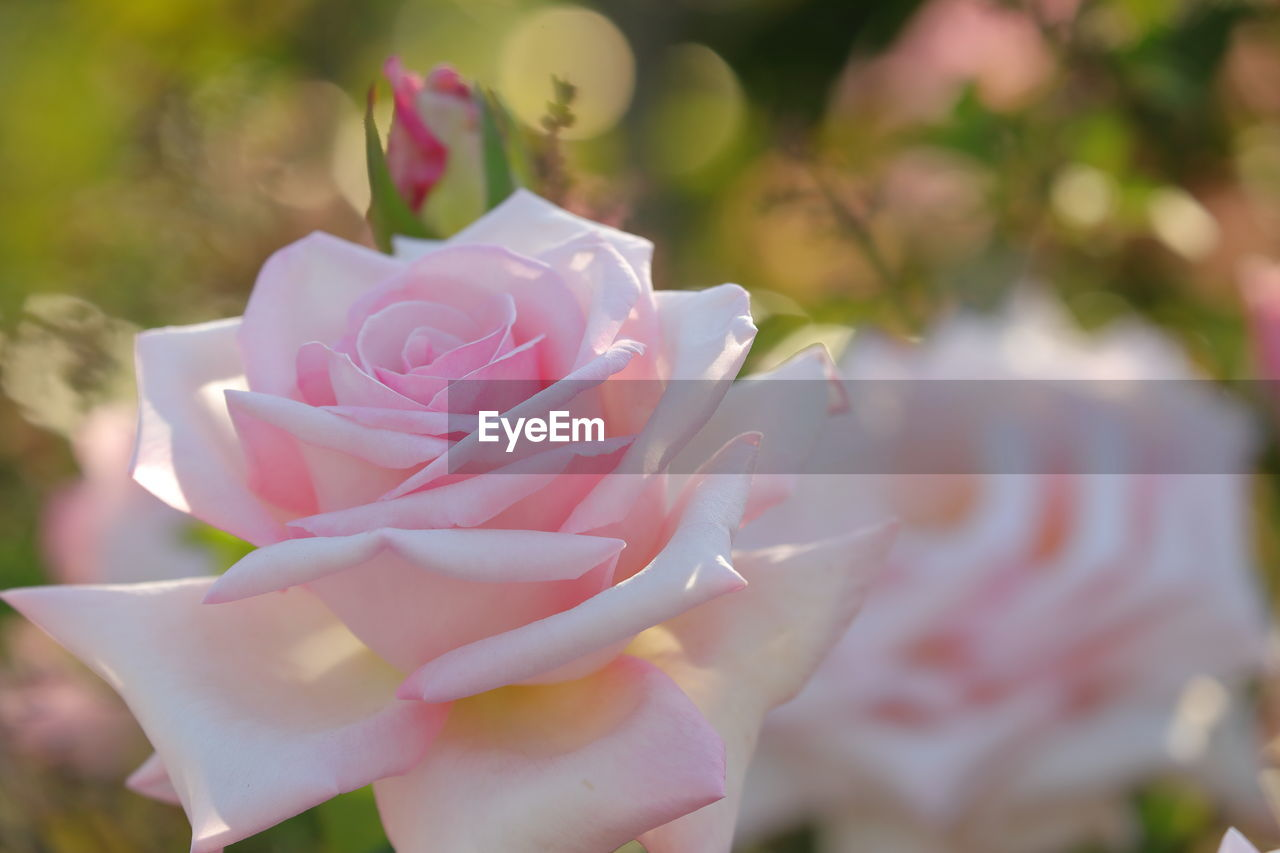 flowering plant, flower, plant, beauty in nature, freshness, petal, pink color, rose, close-up, vulnerability, rose - flower, inflorescence, flower head, fragility, nature, growth, focus on foreground, no people, day, selective focus, outdoors, softness