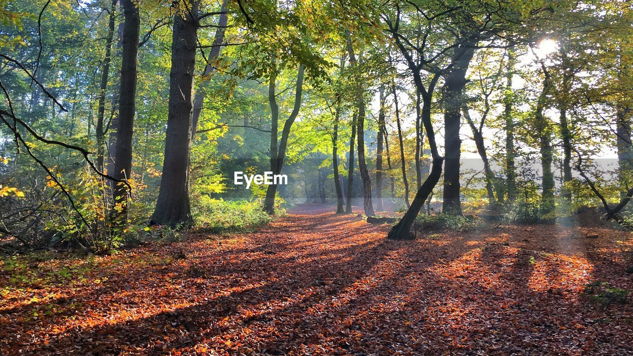 tree, nature, autumn, forest, scenics, beauty in nature, tranquil scene, tranquility, change, tree trunk, day, fog, outdoors, landscape, woodland, leaf, sunlight, branch, no people, growth
