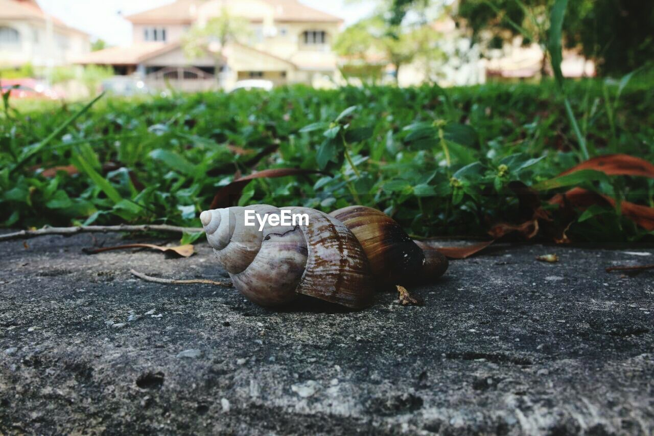 shell, animal wildlife, animal themes, animal, mollusk, animals in the wild, animal shell, close-up, no people, invertebrate, nature, snail, one animal, selective focus, day, gastropod, plant, grass, field, outdoors, surface level