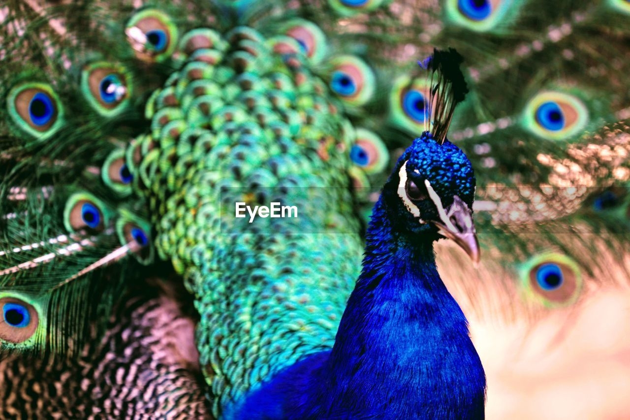 bird, peacock, animal themes, close-up, animals in the wild, day, animal wildlife, peacock feather, focus on foreground, feather, outdoors, one animal, multi colored, fanned out, no people, nature, beauty in nature