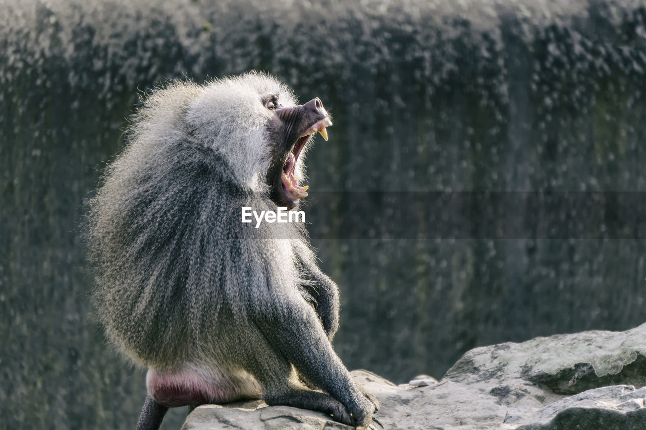 Side View Of Baboon Yawning On Cliff