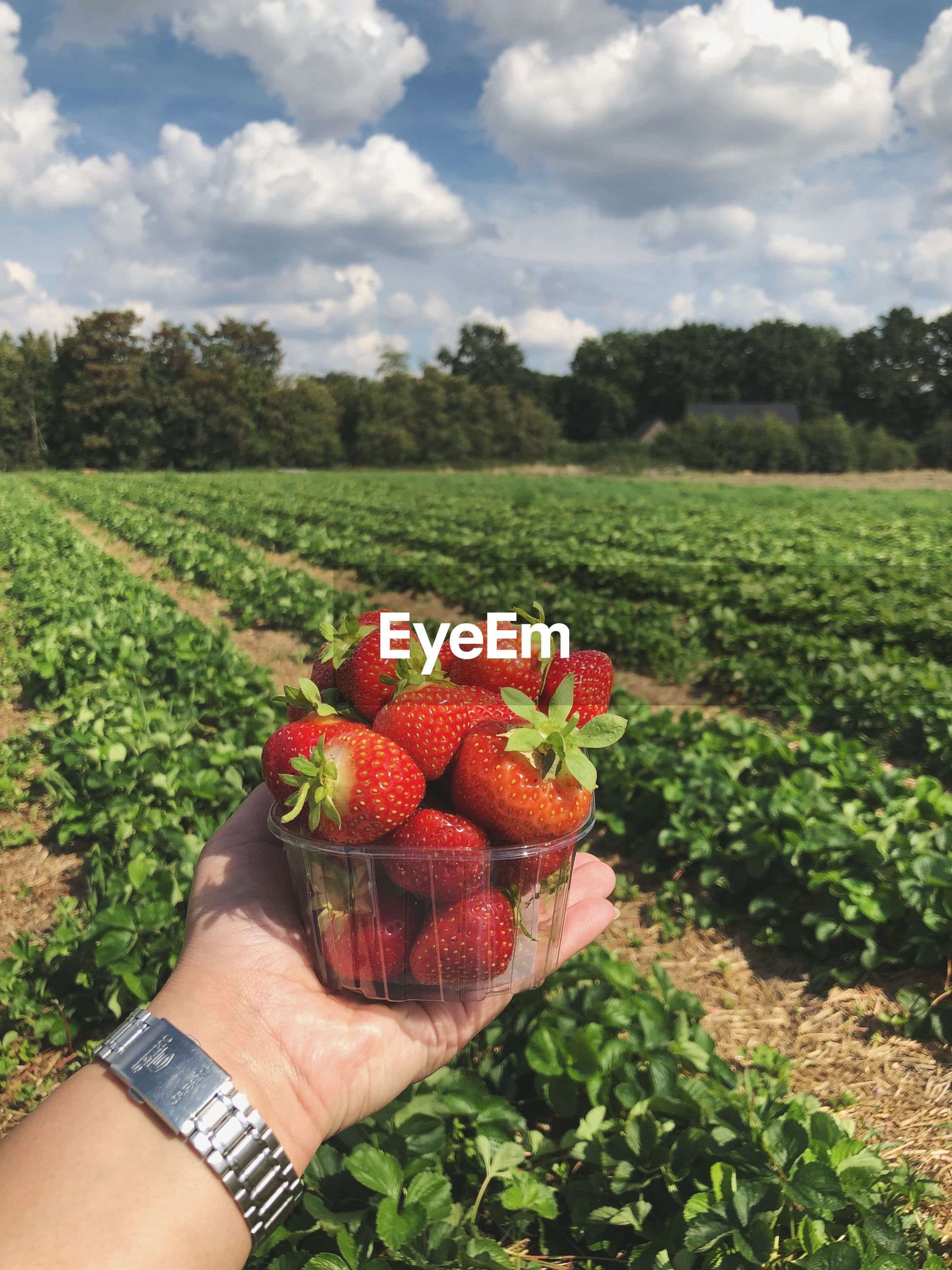 Cropped hand holding strawberries over field against cloudy sky