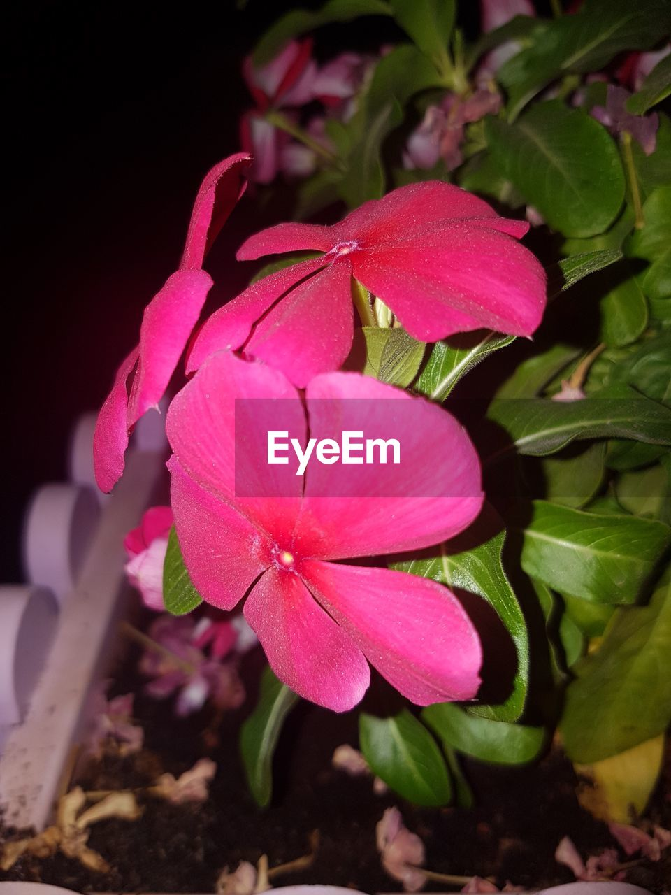 pink color, petal, growth, flower, beauty in nature, fragility, flower head, nature, leaf, no people, plant, freshness, periwinkle, close-up, outdoors, blooming, day
