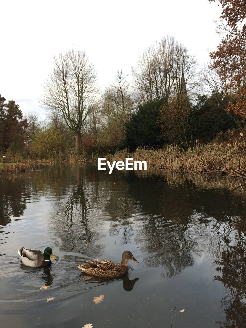 bird, animal themes, animals in the wild, water, nature, tree, lake, swimming, swan, water bird, animal wildlife, no people, reflection, duck, day, outdoors, goose, beauty in nature, togetherness, black swan