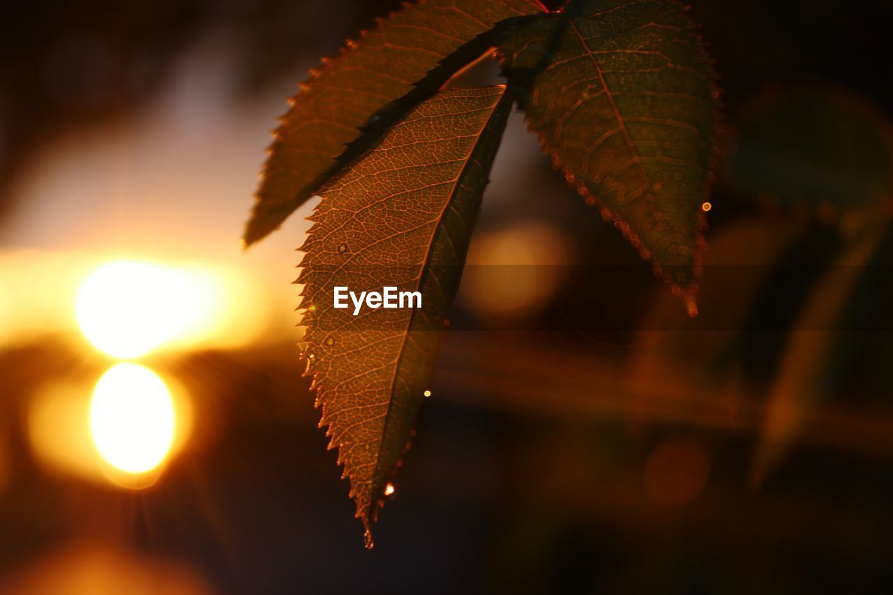 Close-up of leaves during sunset