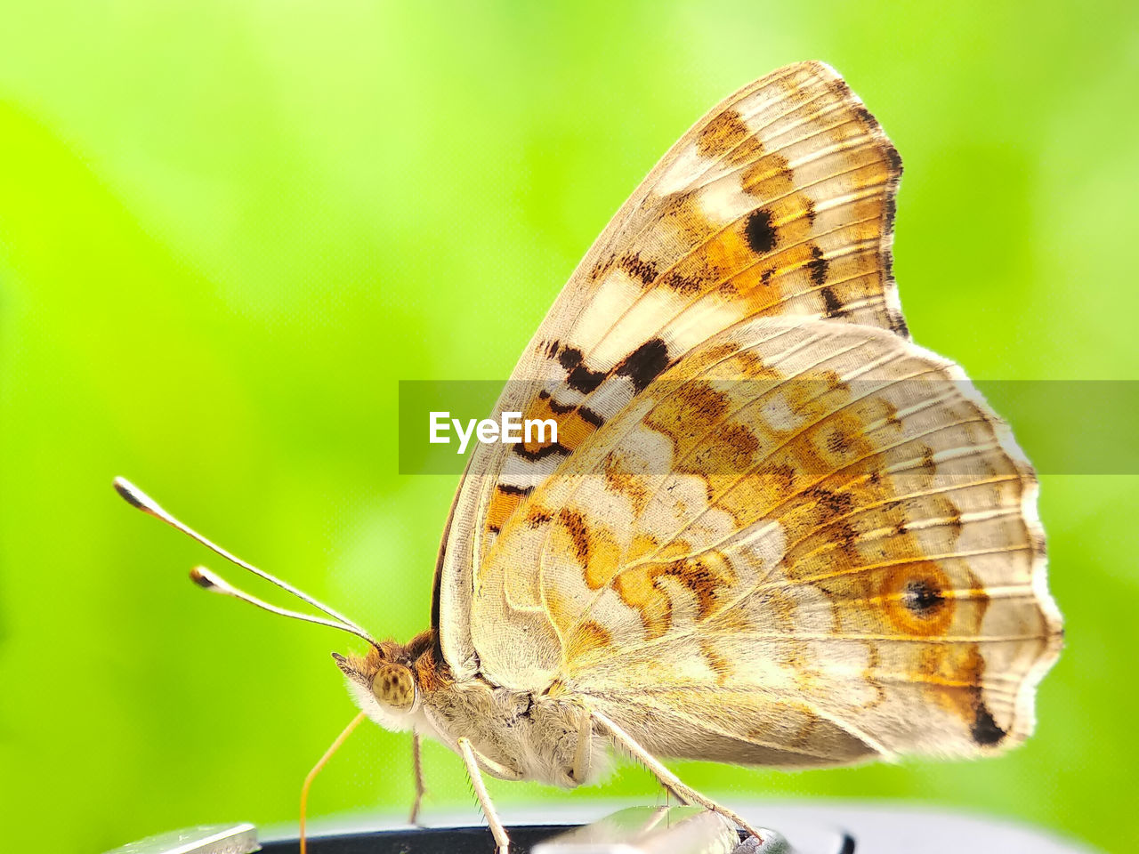 animal wildlife, invertebrate, insect, animal themes, animal, one animal, animals in the wild, animal wing, butterfly - insect, close-up, beauty in nature, animal antenna, focus on foreground, animal body part, nature, no people, flower, butterfly, plant, day