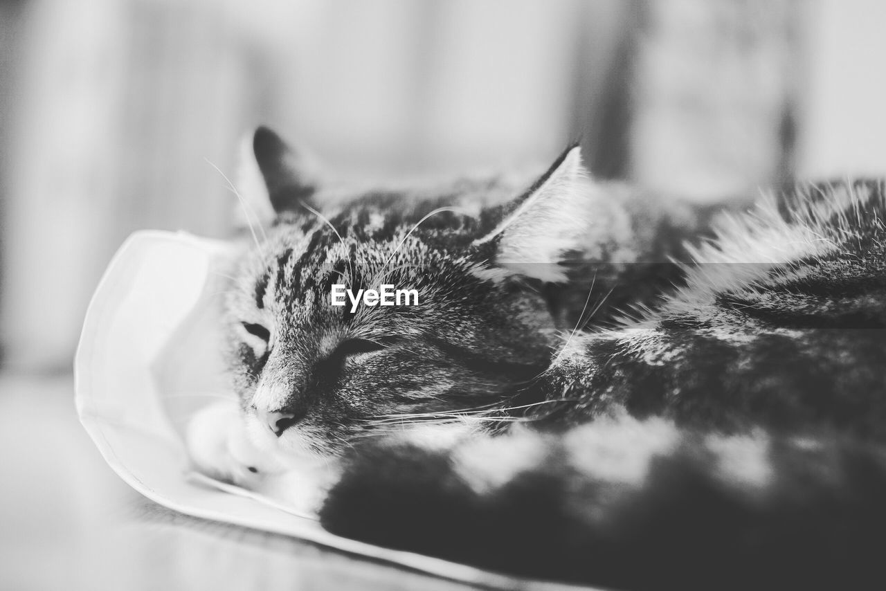 domestic, cat, domestic cat, feline, pets, domestic animals, mammal, animal, one animal, animal themes, selective focus, vertebrate, close-up, relaxation, no people, resting, indoors, animal body part, whisker, looking, animal head