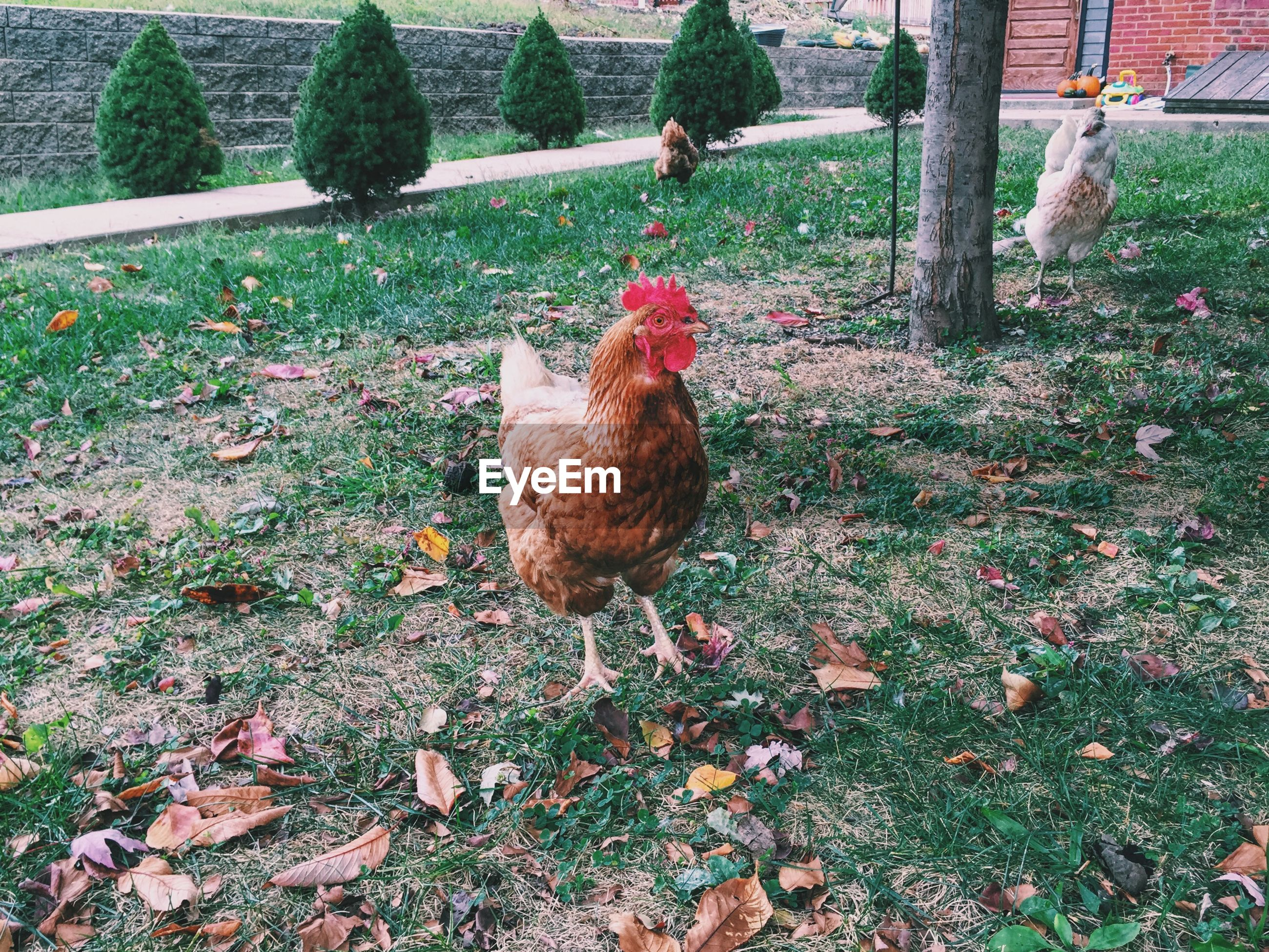 Chickens on field