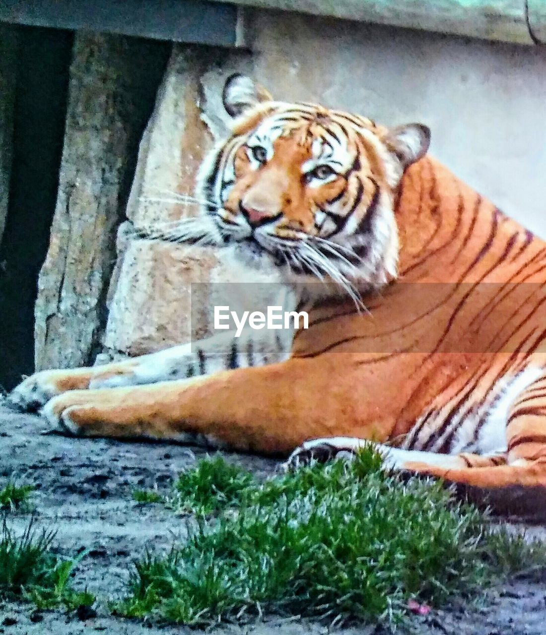 one animal, animal themes, animals in the wild, mammal, day, relaxation, tiger, sitting, feline, outdoors, close-up, no people