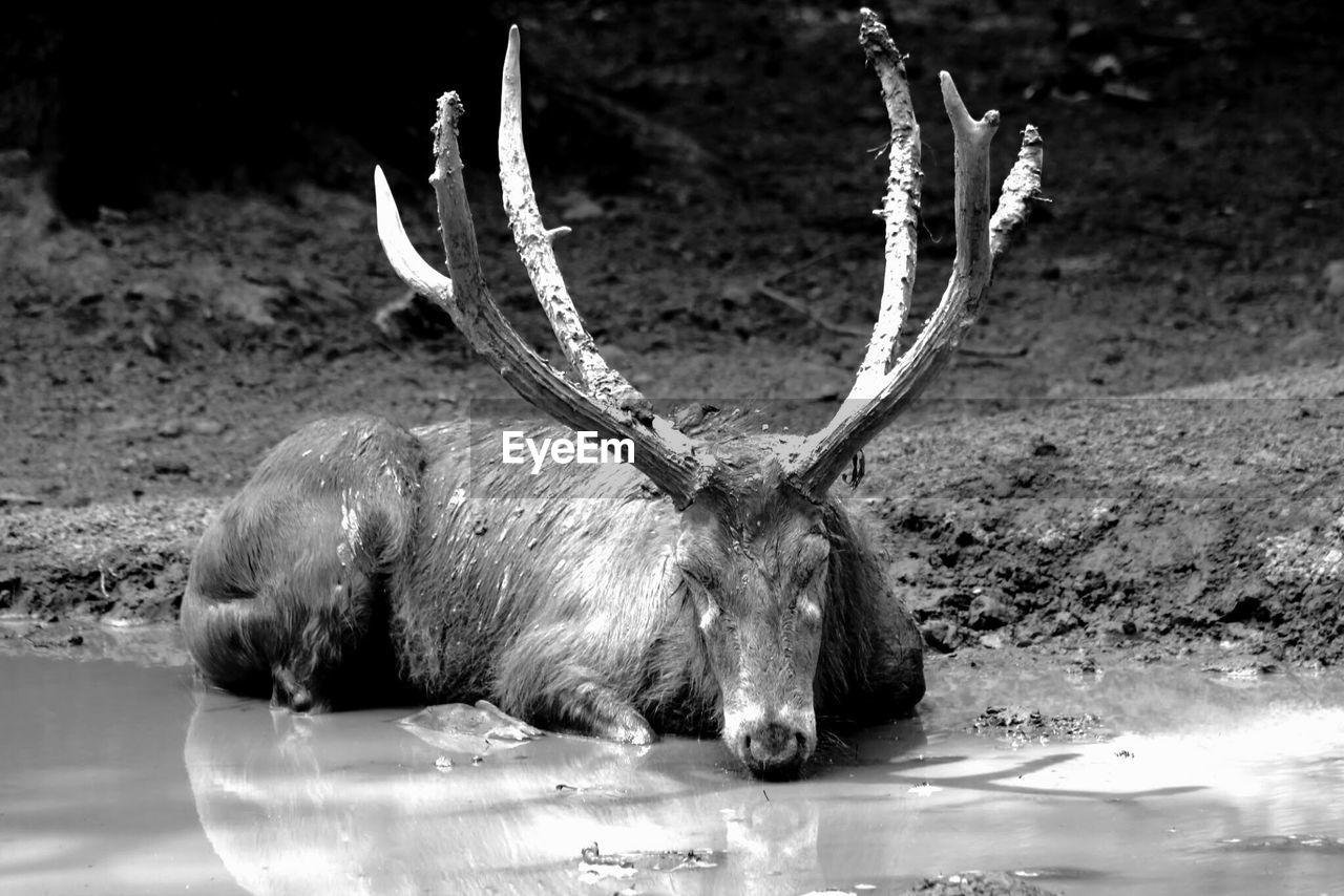Elk Sitting On Water