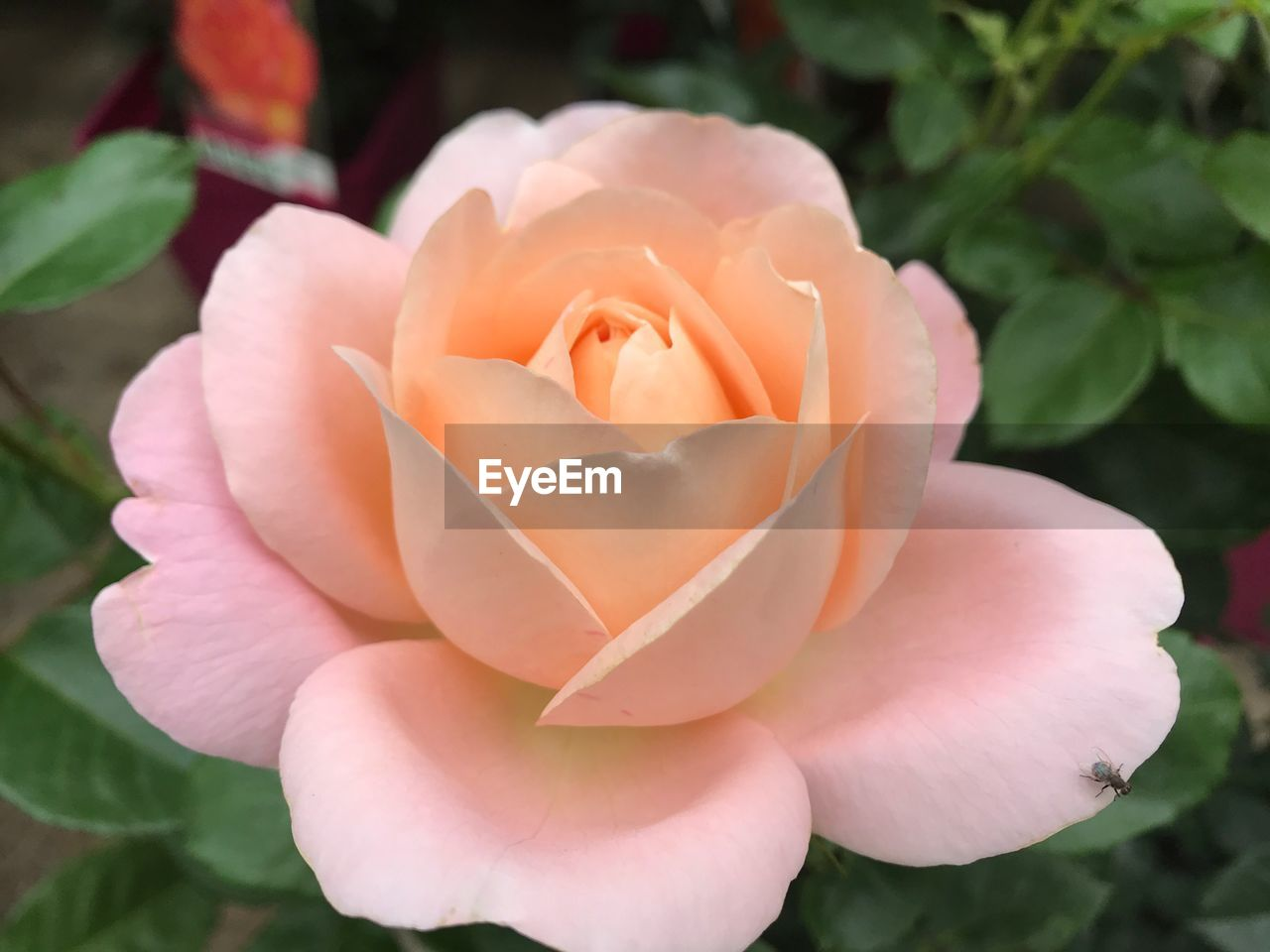 flowering plant, flower, beauty in nature, plant, vulnerability, petal, fragility, close-up, freshness, flower head, inflorescence, growth, rose, rose - flower, pink color, nature, no people, day, focus on foreground, outdoors, springtime