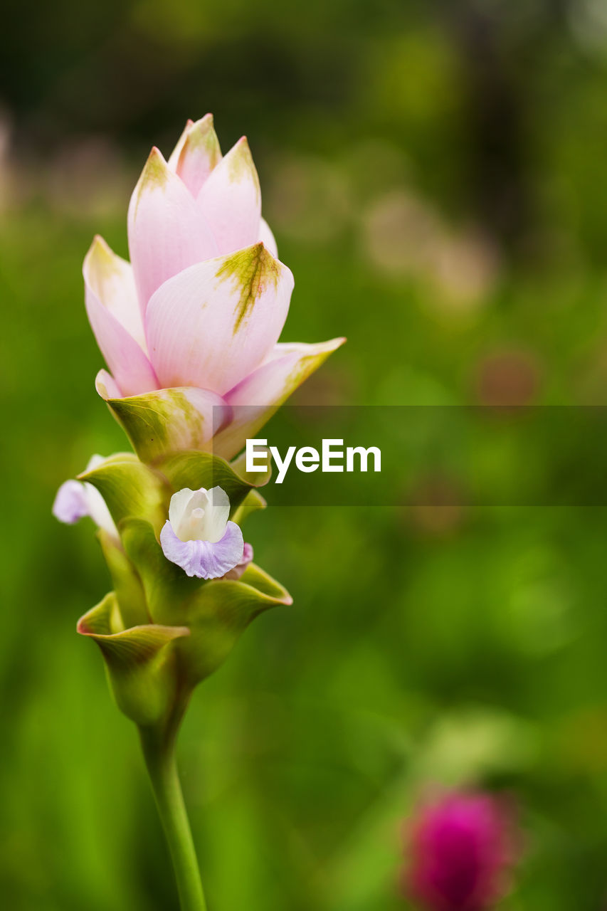 flowering plant, flower, beauty in nature, plant, fragility, vulnerability, freshness, petal, pink color, growth, close-up, flower head, inflorescence, nature, focus on foreground, day, no people, selective focus, outdoors, rose