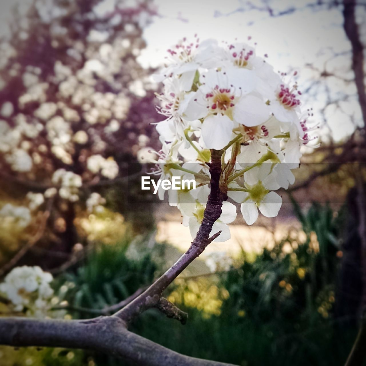 flower, growth, fragility, nature, tree, blossom, beauty in nature, springtime, apple blossom, no people, botany, freshness, focus on foreground, day, branch, white color, close-up, outdoors, blooming, flower head