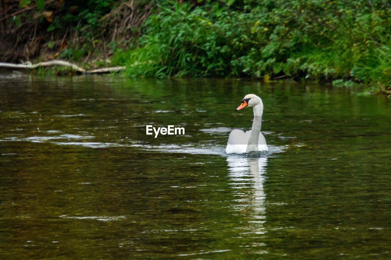 animals in the wild, animal wildlife, water, animal themes, bird, animal, vertebrate, lake, swimming, swan, one animal, water bird, day, waterfront, reflection, beauty in nature, nature, mute swan, zoology, no people, outdoors, floating on water